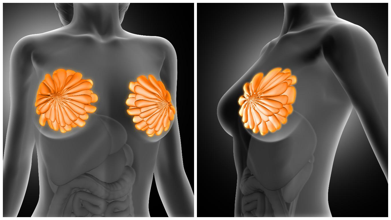 Anatomía de la mama - BonomédicoBlog