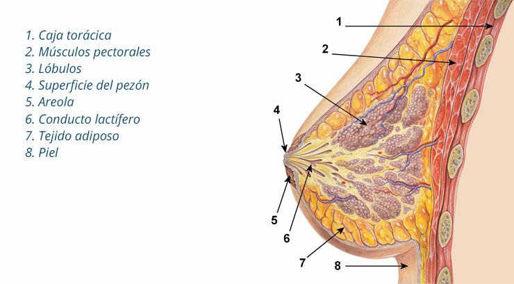 diagrama de la anatomía de la mama