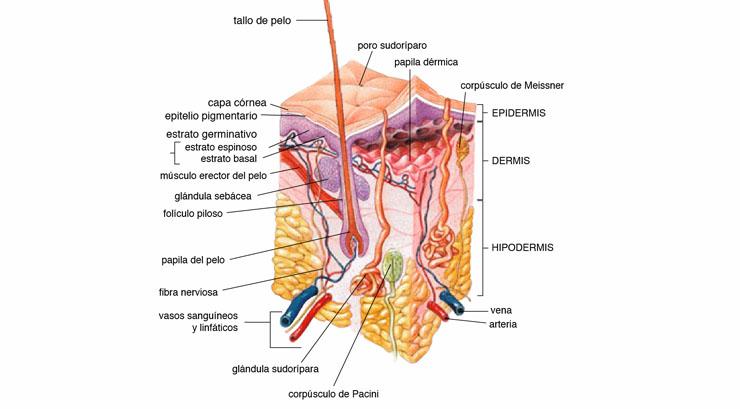 Partes que componen la piel humana
