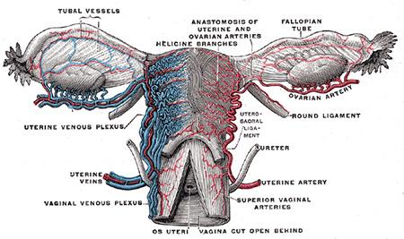 Vasos sanguíneos del útero y sus apéndices, vista posterior.