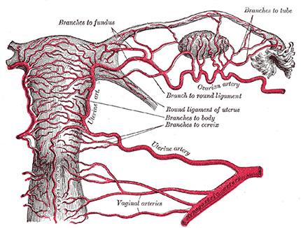 Arterias del aparato reproductor femenino.
